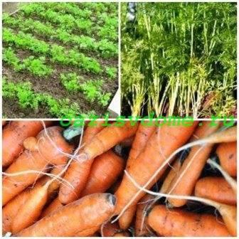Как обрезать морковь на хранение на зиму в погребе и сделать это правильно – фото примеров selo.guru — интернет портал о сельском хозяйстве
