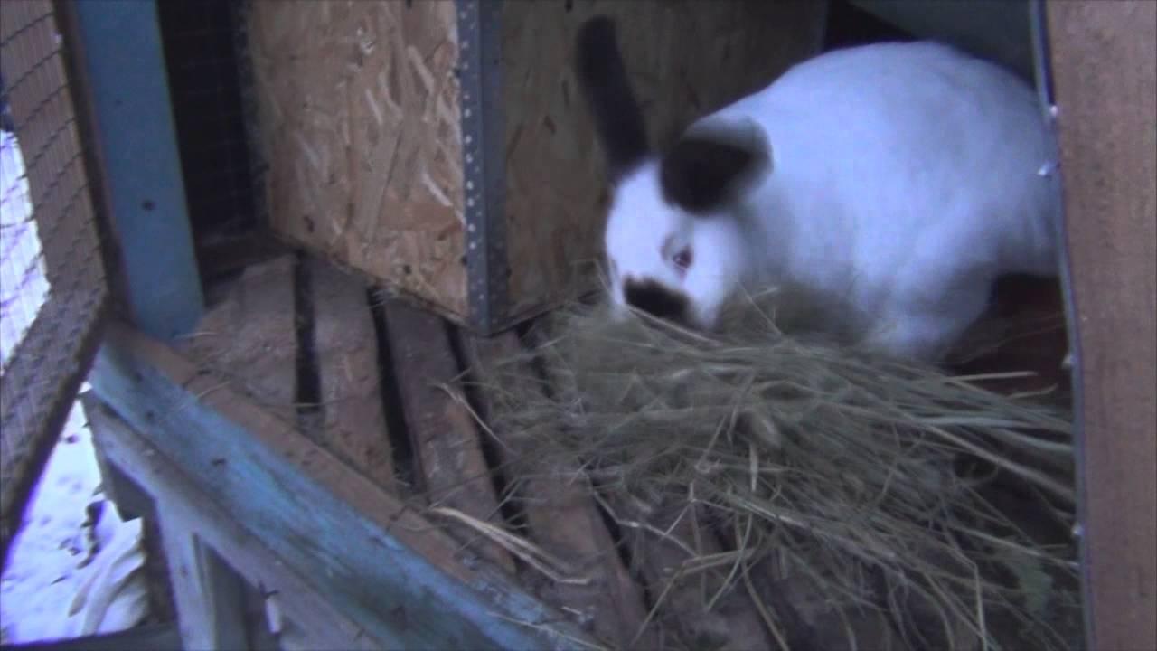 Окрол крольчихи: время, советы