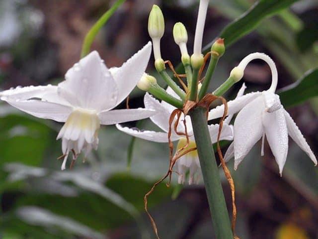 Цветок эухарис: что делать, если не цветет, приметы и суеверия