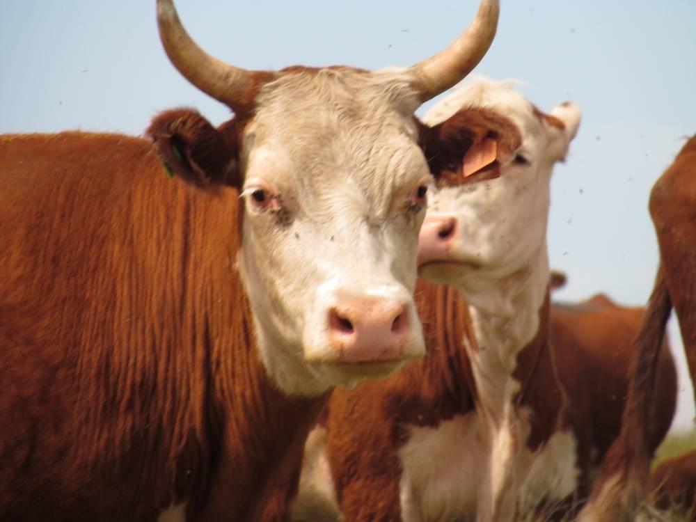 Особенности казахской белоголовой породы коров