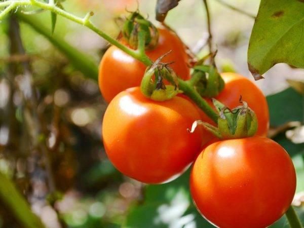 Томат сорта веселый гном: характеристики, описание агротехники, отзывы дачников