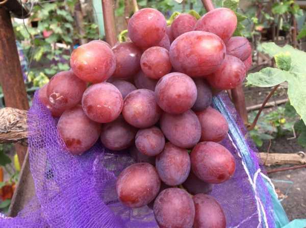 Описание сорта томата ягуар, выращивание и урожайность