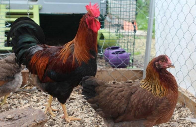 Порода кур вельзумер: описание и характеристики, правила содержания