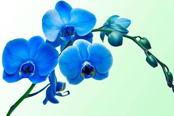 Уход за синей орхидеей в домашних условиях и как выращивают голубые фаленопсисы
