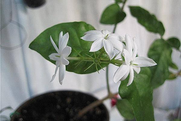 Жасмин самбак (арабский) — уход за комнатным растением в домашних условиях