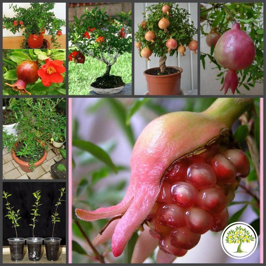 Экзотический плод дома: как вырастить гранат из косточки