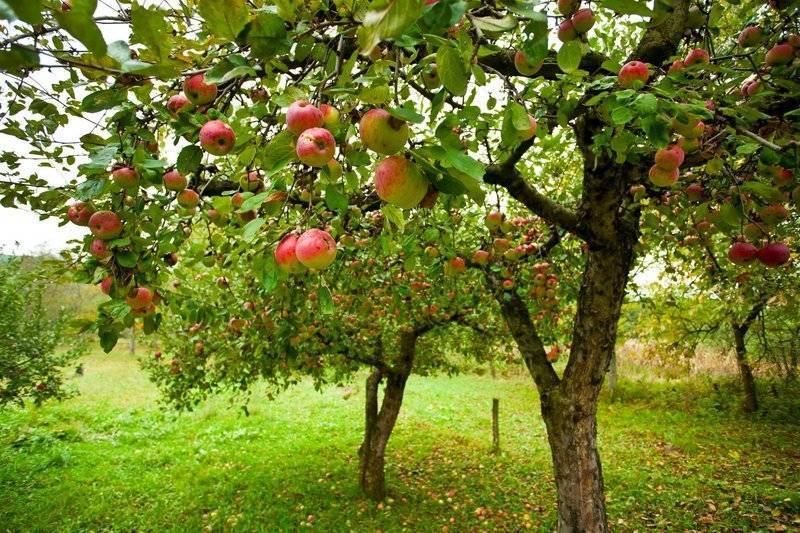 Подкормка яблонь в августе и осенью. подготовка фруктовых деревьев к зиме