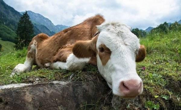 Если у коровы встал желудок и не работает: что делать в домашних условиях