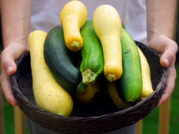 Как выращивать кабачок золотинка?