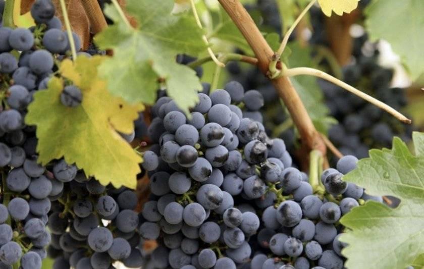 Виноград - польза и вред для организма человека - vinograd-loza
