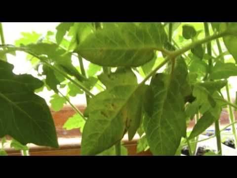 Рассада томатов желтеет что делать | спутниковые технологии