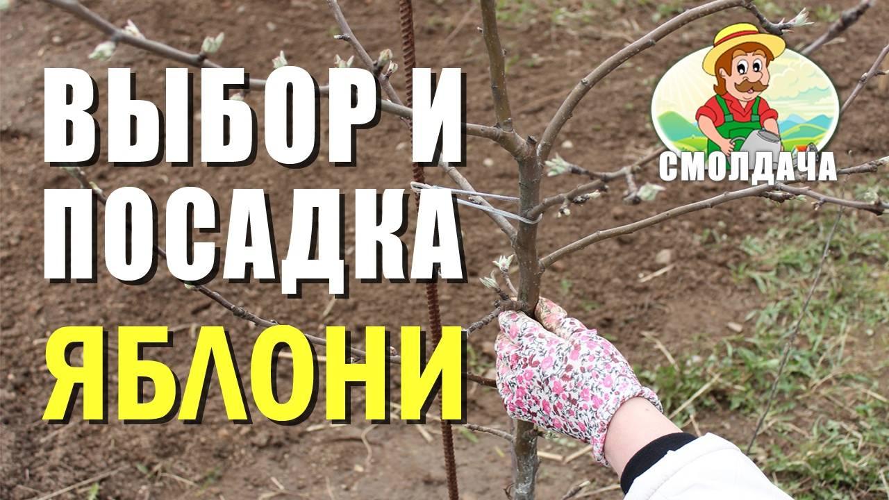 Посадка яблони весной — секреты обильного урожая — ботаничка.ru