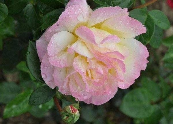 Роза глория дей (gloria dei) — описание плетистого сорта