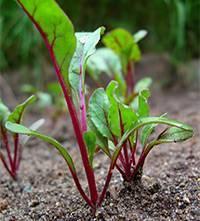 Свекла: выращивание и уход в открытом грунте. секреты правильного выращивания свеклы на огороде