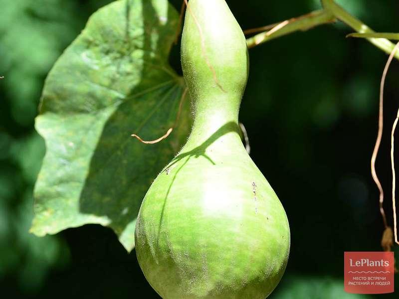 Выращивание лагенарии: особенности и нюансы
