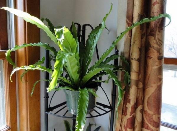 Асплениум, или костенец — зеленый фонтанчик. уход в домашних условиях. выращивание, размножение, виды. фото — ботаничка.ru