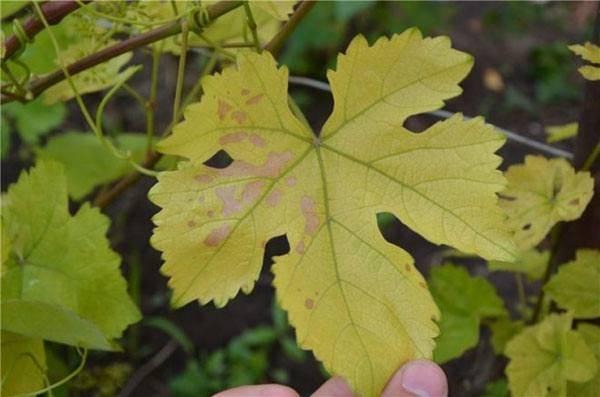 Желтеют листья винограда: что делать и как с этим бороться, чем обрабатывать