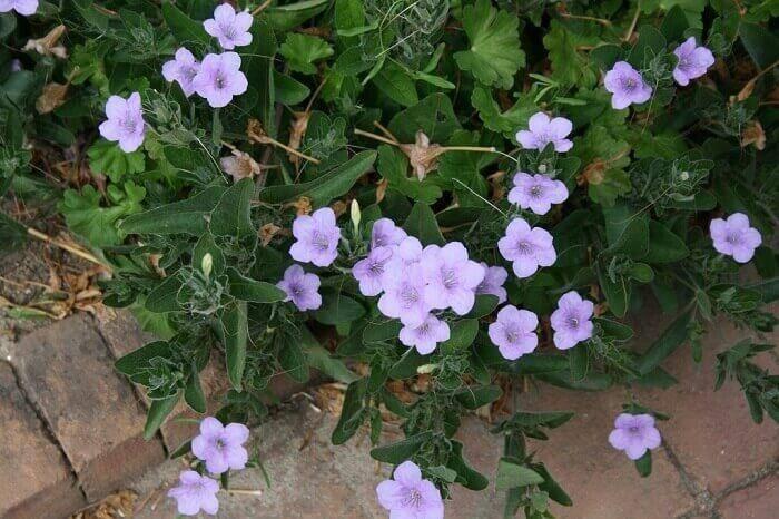 Руэллия: фото, выращивание и уход