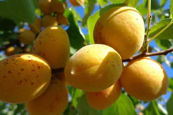 Абрикос погремок: описание и характеристика сорта, правила посадки и выращивания