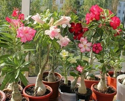 Адениум: выращивание в домашних условиях, советы специалистов