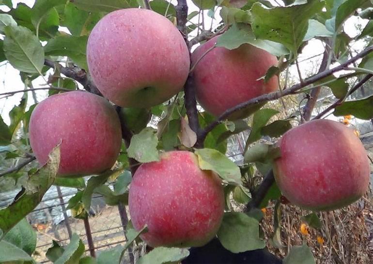 Неприхотливая яблоня промышленной разновидности — сорт свежесть