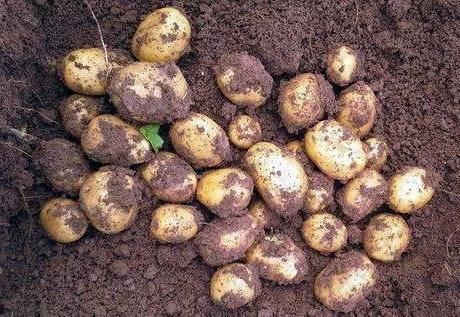 Картофель сорта коломбо: фото, описание и характеристика данного вида, а также советы по выращиванию и рекомендации по борьбе с вредителями