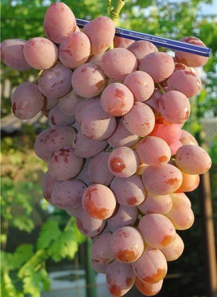 Виноград рута: что нужно знать о нем, описание сорта, отзывы