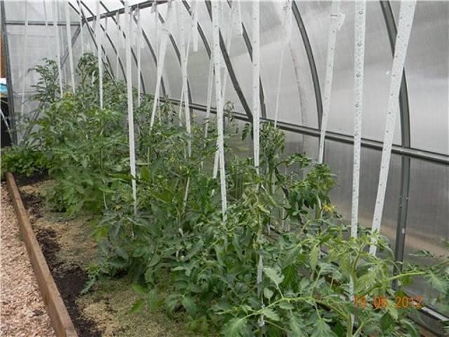 Как посадить помидоры в теплицу из поликарбоната правильно
