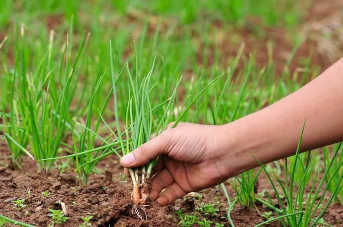 Все нюансы выращивания лука на головку при посадке весной. когда и как сажать, чтобы получить хороший урожай?