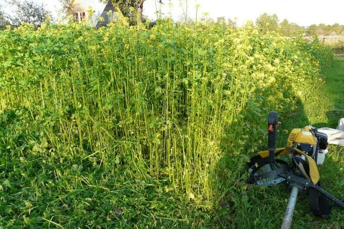 Горчица белая как сидерат: когда сеять осенью и весной, когда убирать