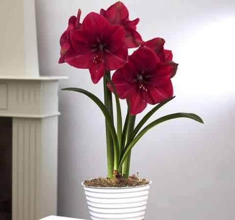 Что делать, если амариллис не цветет: советы как заставить цвести, правильный уход после цветения selo.guru — интернет портал о сельском хозяйстве