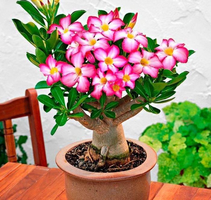 Адениум Обесум — как ухаживать за цветком