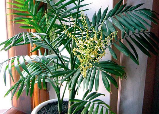 Хамедорея - уход в домашних условиях, фото, пересадка пальмы, болезни, выращивание из семян