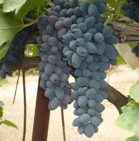Правила посадки и выращивания винограда Декабрьский