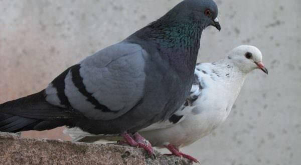 Сизый голубь - описание, среда обитания, интересные факты
