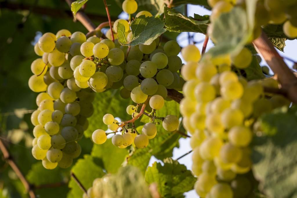 Московский безукрывной виноград