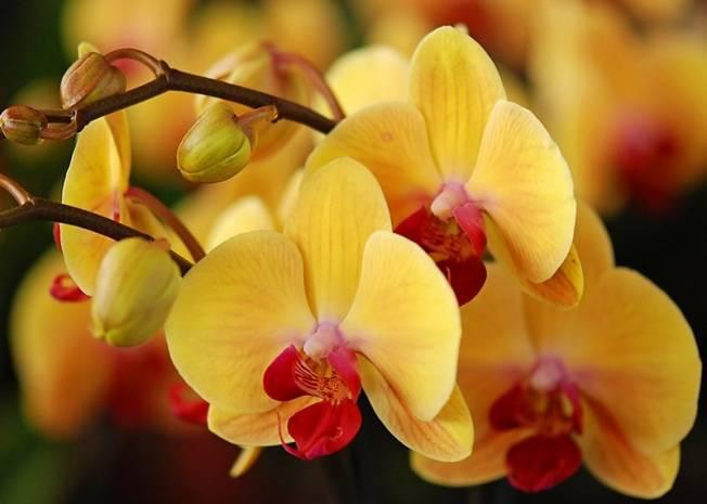 Как спасти орхидею без корней, реанимация в домашних условиях