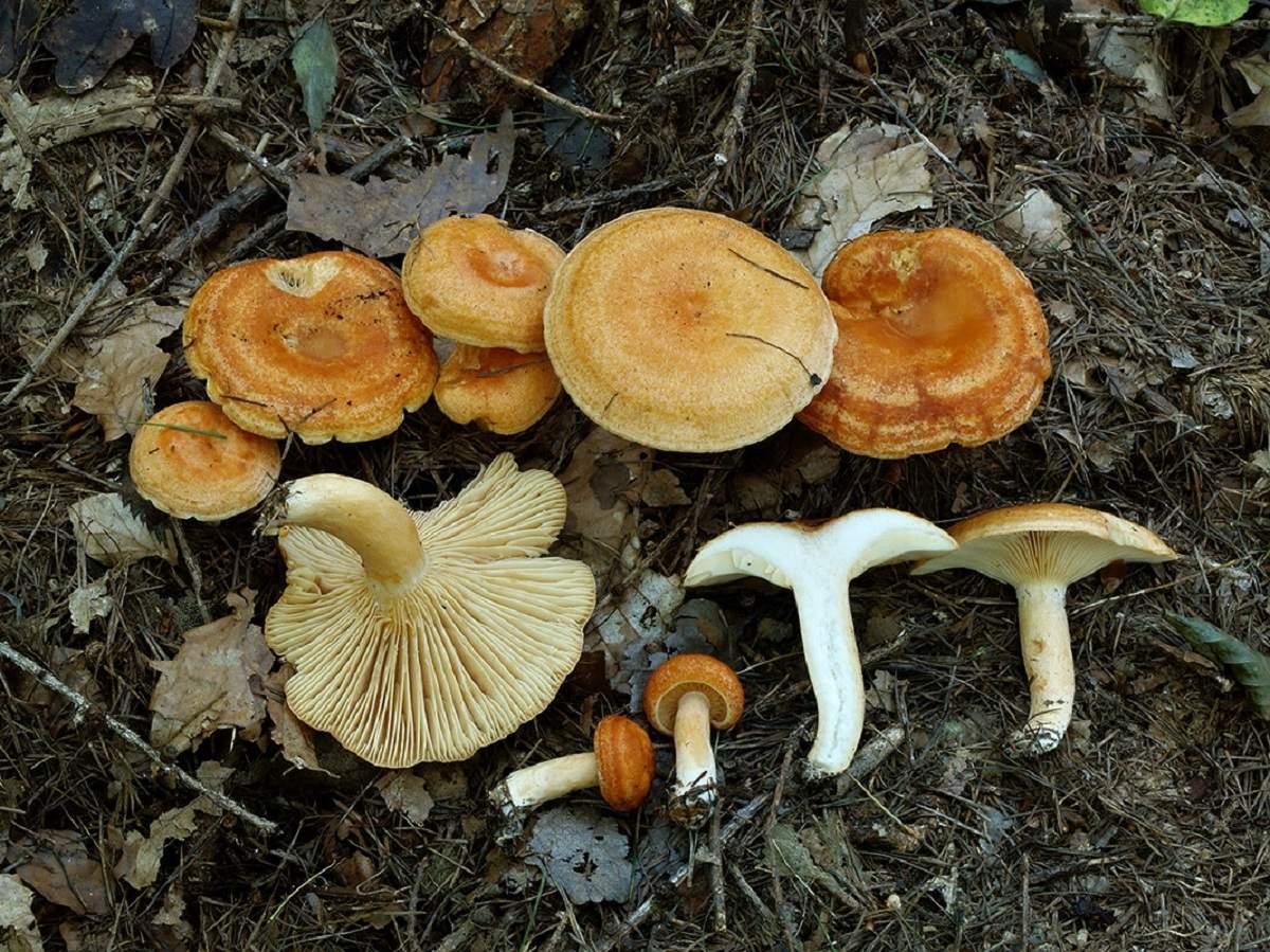 Млечник (род грибов) — википедия. что такое млечник (род грибов)