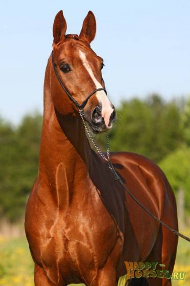 Тракененская порода лошадей: характеристика и фото
