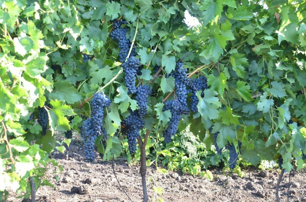 Виноград амурский потапенко — уникальная форма, выдерживающая -35 °с мороза