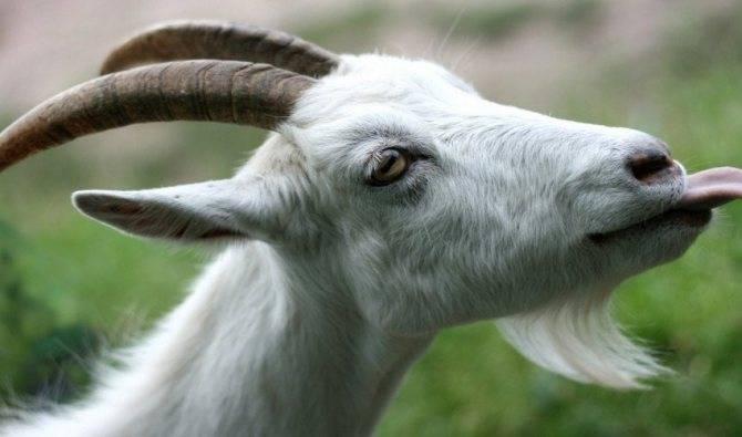Сколько раз доить козу после окота: правила выполнения и частота в день