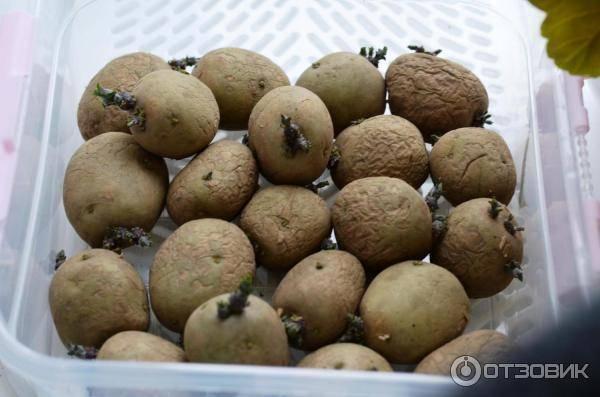 Голландец популярный в россии — картофель «коломбо»: описание сорта, фото, характеристика