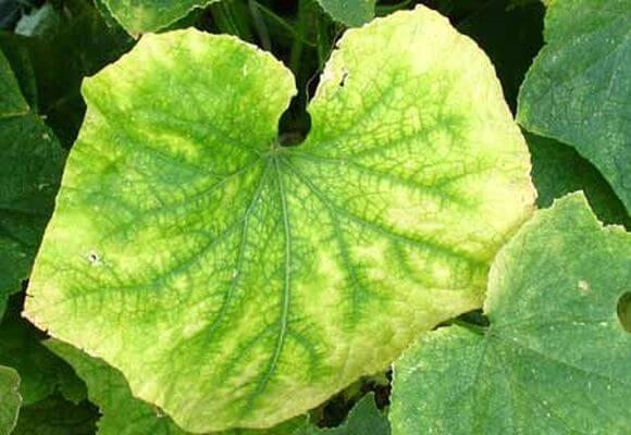 Почему желтеют и сохнут листья у кабачков в открытом грунте