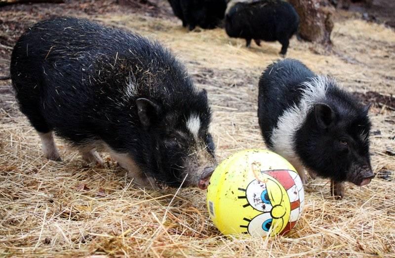 Подстилка для свиней: преимущества глубокой, описание технологии
