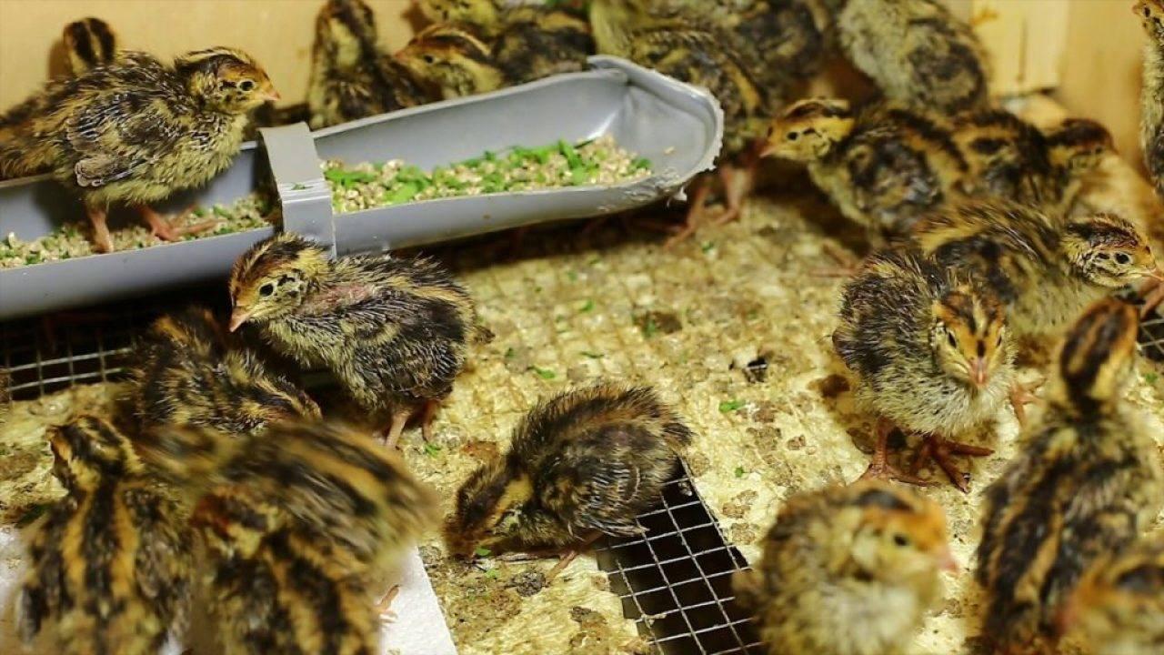 Перепелиная ферма: фото, видео, бизнес план перепелиной фермы