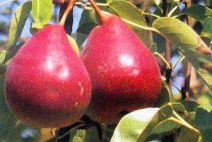 Американка любимица клаппа: правила ухода за грушевым деревом