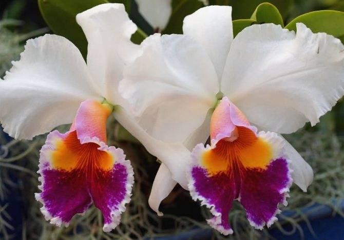 Орхидея каттлея (53 фото): сорта цветка, посадка и уход в домашних условиях, размножение, пересадка