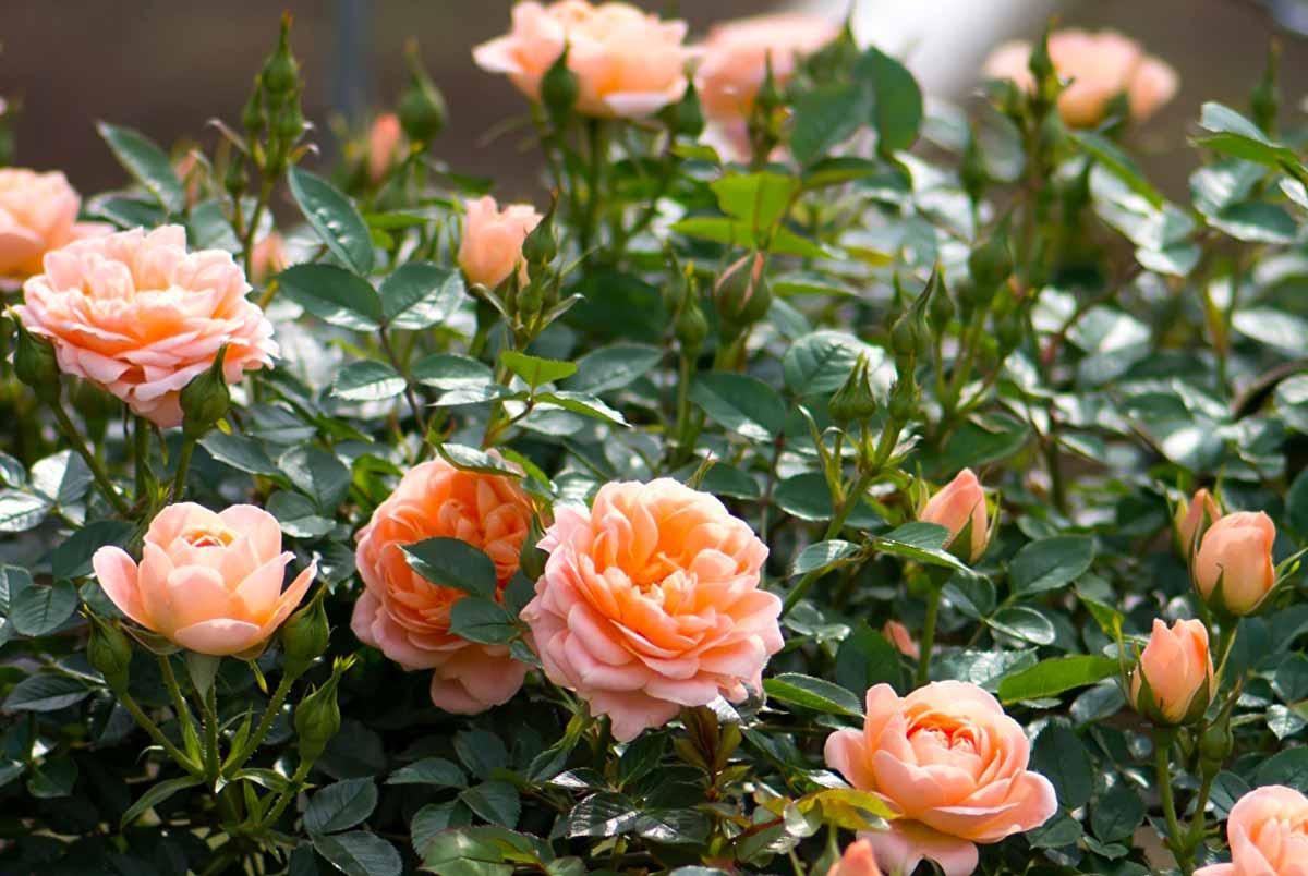 Как и когда посадить розы осенью в открытый грунт