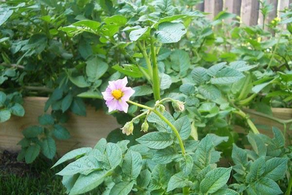 Нужно ли обрывать цветы у картофеля во время цветения для повышения урожайности, отзывы