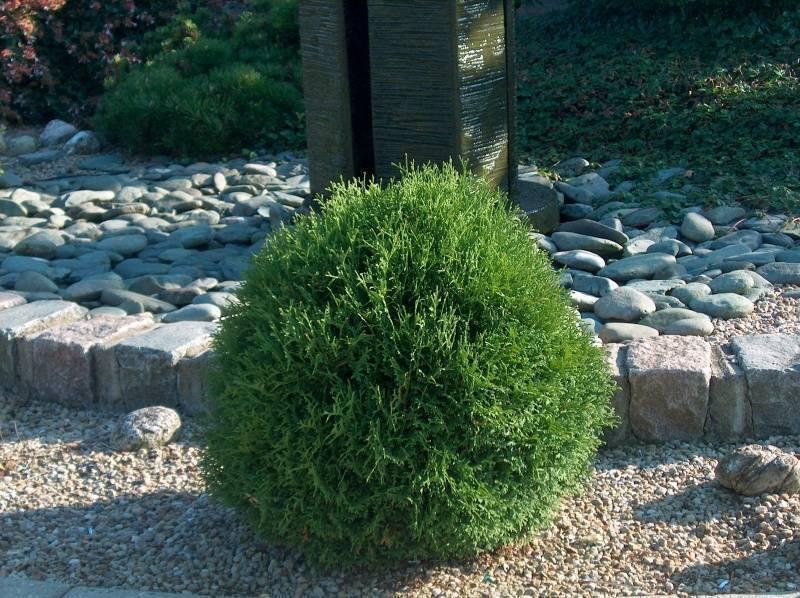 Туя тини тим: описание интересного сорта карликового кустарника с прекрасными декоративными качествами